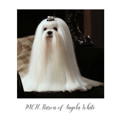 Maltézáček Baron of Angela White